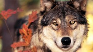 Preview wallpaper wolf, grass, leaves, face, eyes