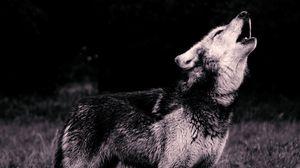 Preview wallpaper wolf, howl, predator, bw