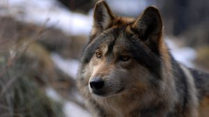Preview wallpaper wolf, look, wild, spotted
