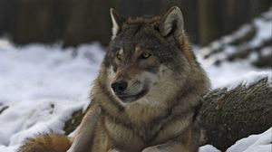Preview wallpaper wolf, male, leader, winter, forest