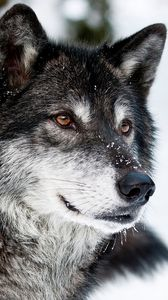 Preview wallpaper wolf, muzzle, eyes, predator