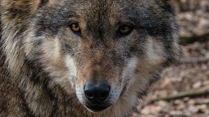 Preview wallpaper wolf, muzzle, predator, look, wildlife