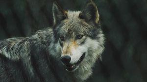 Preview wallpaper wolf, predator, dog, view