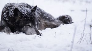 Preview wallpaper wolf, snow, blizzard, cold, warm, black white