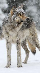 Preview wallpaper wolf, snow, winter, predator