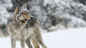 Preview wallpaper wolf, snow, winter, predator