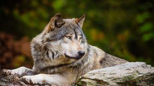 Preview wallpaper wolf, stone, predator