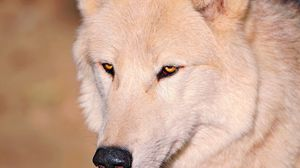 Preview wallpaper wolf, white, eyes, nose