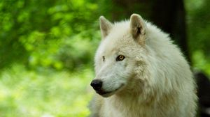 Preview wallpaper wolf, white, predator, glance, wildlife
